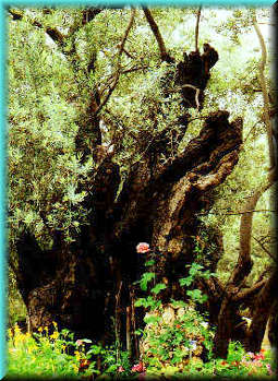 an ancient olive tree in the garden of Gethsemane