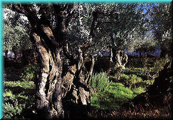 Ancient Olive                 Trees in the Garden of Gethsemane. Source unknown.